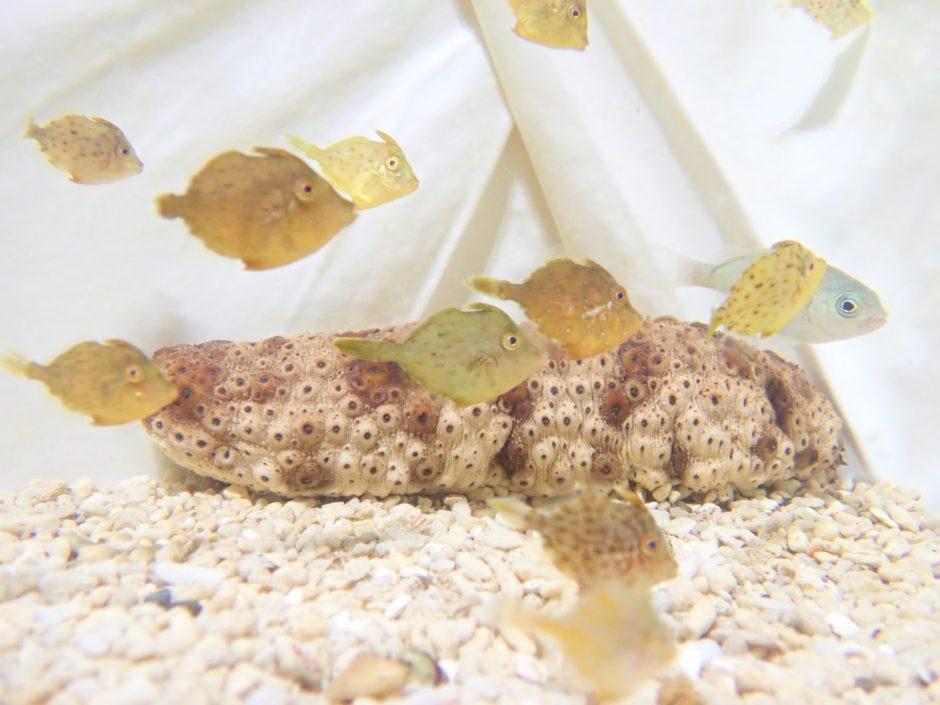 カワハギの稚魚