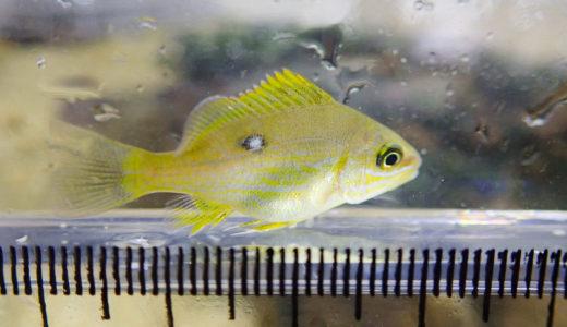 なぞの黄緑色の魚